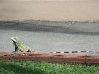 Chilling Iguana